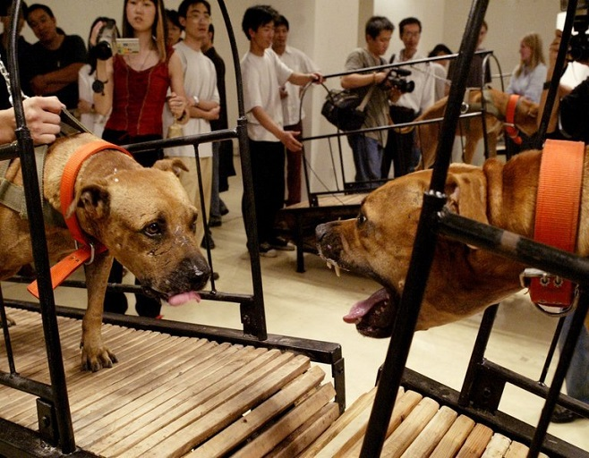 Пен Ю і Сан Юань, Собаки, які не можуть торкнутися одне одного / Фото: nytimes.com